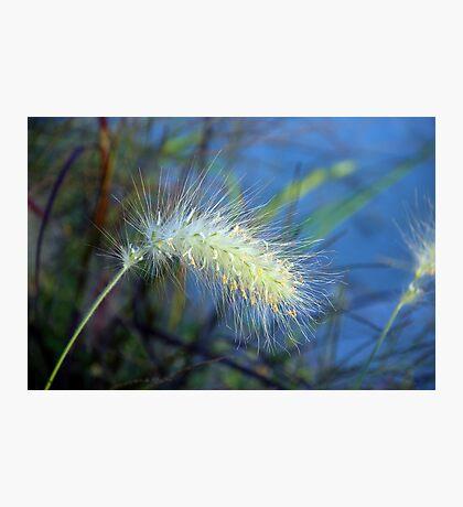 Little Bunny Fountain Grass Photographic Print