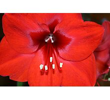 Is this the Way to Amaryllis? Photographic Print