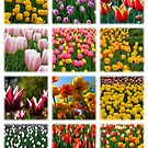 Tulips Montage 1 by photonista