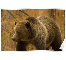 Grizzly Sow-Signed-#1643 Poster