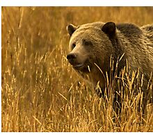 Grizzly Sow-Signed-#1654 Photographic Print