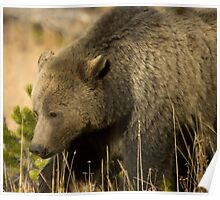Grizzly Sow-Signed-#5036 Poster