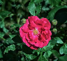 A single red rose by Josef Pittner