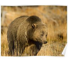 Grizzly Sow-Signed-#5216 Poster