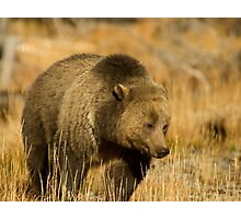 Grizzly Sow-Signed-#5216 Photographic Print