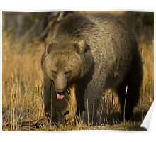 Grizzly Sow-Signed-#5230 Poster