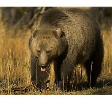 Grizzly Sow-Signed-#5230 Photographic Print