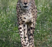 Beautiful Cheetah by virginian