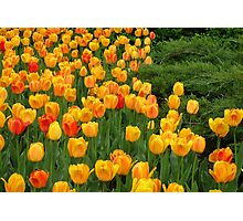 Tulips 6 Photographic Print