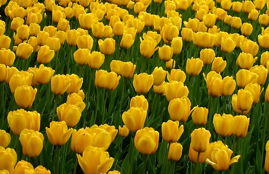Tulips 2 by photonista