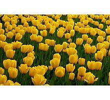 Tulips 2 Photographic Print