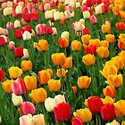 Tulips 5 by photonista