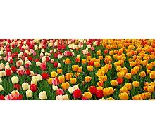 Tulips 5 Photographic Print