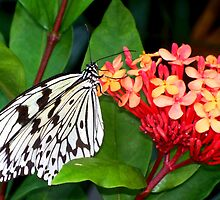 Black and White Butterfly on a Colorful Cluster of Flowers by CrystalFanning