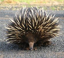 Angry Echidna  by forgantly