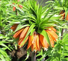 Sunkissed Crown Imperial - Keukenhof Gardens by kathrynsgallery