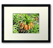 Sunkissed Crown Imperial - Keukenhof Gardens Framed Print