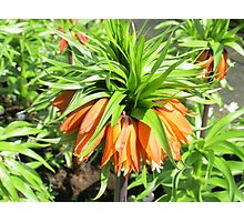 Sunkissed Crown Imperial - Keukenhof Gardens Photographic Print