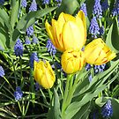Sunkissed Yellow Tulips and Blue Muscari by Kathryn Jones
