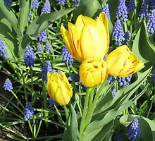 Sunkissed Yellow Tulips and Blue Muscari by kathrynsgallery