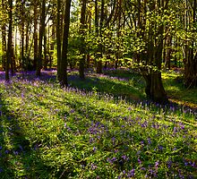 Bluebells and shadows at Oversley Wood, UK by Elana Bailey