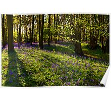 Bluebells and shadows at Oversley Wood, UK Poster