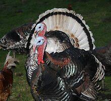 Turkeys! by John Julian