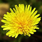 Dandelion by peter Jensen
