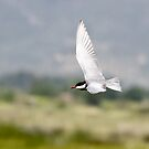 Whiskered Tern by Robert Abraham