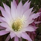Cactus flower blossom iphone case by shelfpublisher