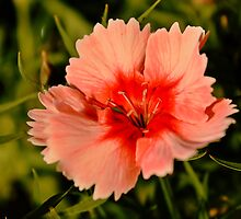 Strawberry Parfait Dianthus  by SB  Sullivan