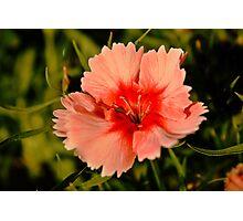Strawberry Parfait Dianthus  Photographic Print