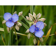 Spiderwort 1 Photographic Print