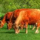 Cows - rural scene by SimplyScene