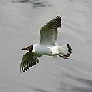 Gliding Gull by Dennis the Elder