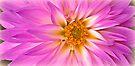 Pink Dahlia by KatarinaD