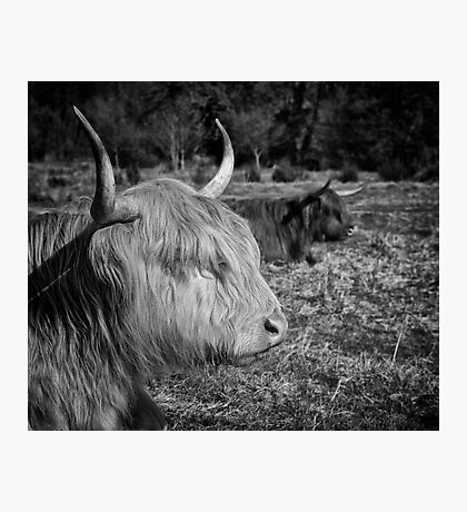 Highland Cattle Photographic Print