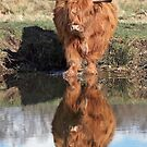 Highland Cattle Reflection by Patricia Jacobs CPAGB LRPS BPE2