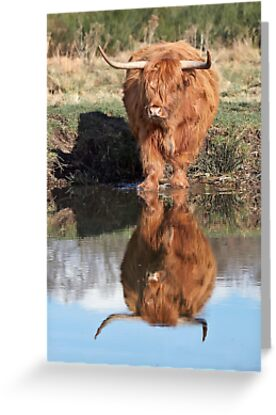 Highland Cattle Reflection by Patricia Jacobs CPAGB LRPS BPE3