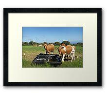 Guernsey Cows Framed Print