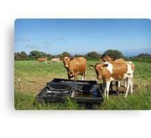 Guernsey Cows Canvas Print