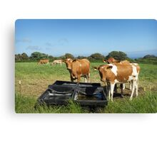 Guernsey Cows Canvas Print