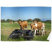 Guernsey Cows Poster