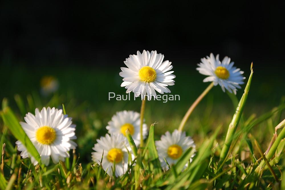 Daisies by Paul Finnegan