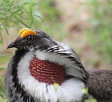 Male Dusky Grouse by KansasA