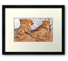 Do Cheetah Wink? Framed Print