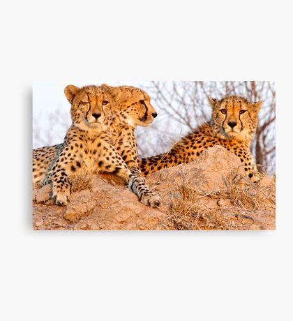 Do Cheetah Wink? Canvas Print