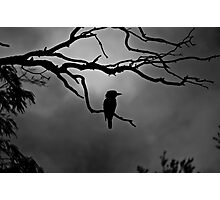 Kookaburra sits in the old gum tree Photographic Print