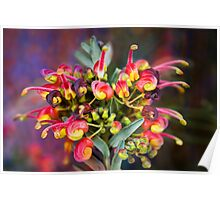 Fireworks - Grevillea, Australian Native Flower Poster