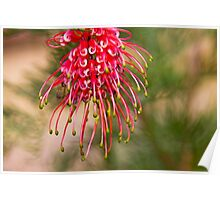 Grevillea Shower - Australian Native Flower Poster
